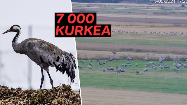 Uutisklipit, Lintuliveen tallentui vaikuttava hetki Vaasassa – pellolle kokoontui 7 000 kurkea samaan aikaan