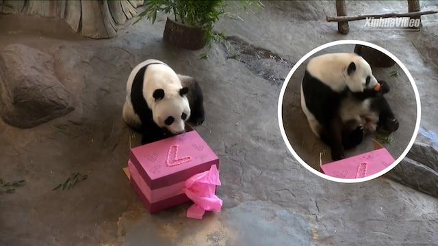 Uutisklipit, Onnea! Ähtärin Lumi-panda täytti seitsemän vuotta – tämä synttärisankarin lahjan avaus näytettiin Kiinassa saakka
