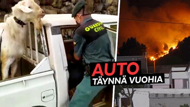 Uutisklipit, Kanariansaarten palomiehet eivät jätä ketään liekkeihin: Lava-auto täyttyi määkivistä otuksista – katso video!