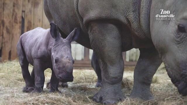 Uutisklipit, Ranskan eläintarhassa iloisia vauvauutisia – vastasyntynyt isosarvikuono sulattaa sydämet