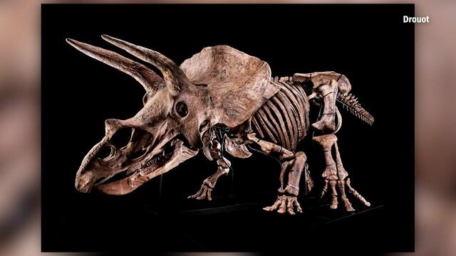 Uutisklipit, Tällainen on maailman suurin triceratops-dinosauruksen fossiili: Myytiin 6,6 miljoonalla