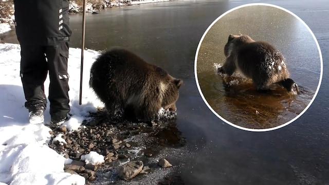 Uutisklipit, Karhunpentu Ainan uintipaikka jäätyi – katso, kuinka heikko järven jää teki tepposet karhulle